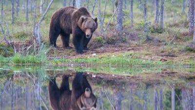 Lättväckta björnar