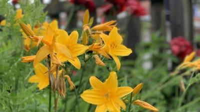 blommor säter