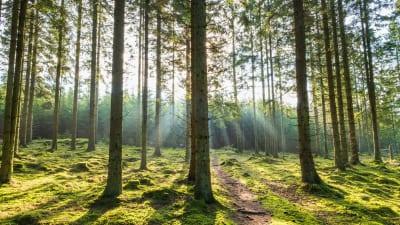 Syig i en skog med solstrålar bakom trädet